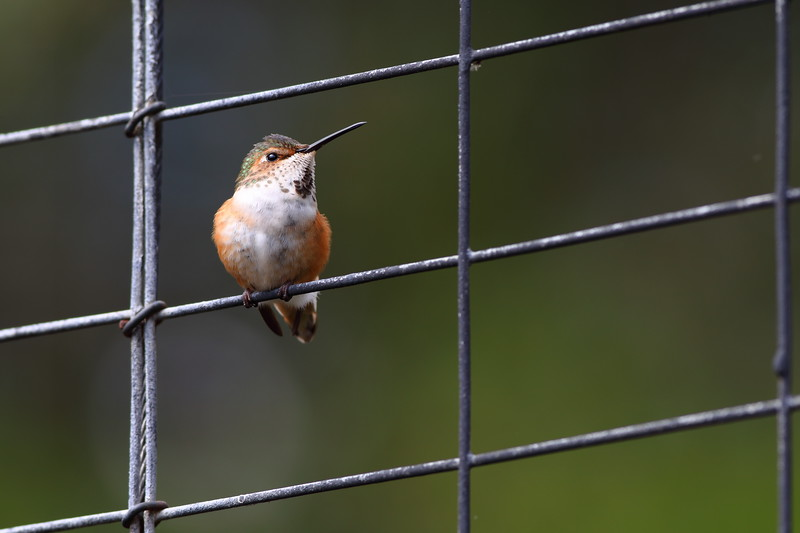 Allen's Hummingbird Perched on Metal Fence