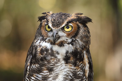 Great Horned Owl Gazing Wisely