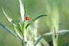 Lady Bug Climbing a Plant