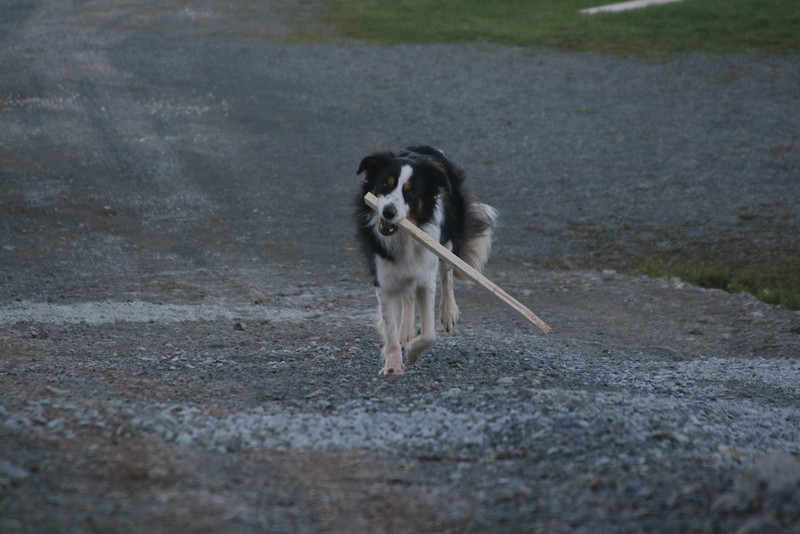 Grade stakes need to be driven for the final levelling of the gravel floor.... Jayce delivering a stake, one of the many he stole.