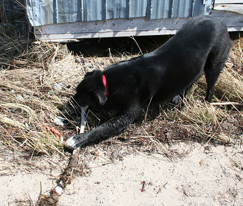 EASTER WEEKEND...on a Easter Egg hunt, but all Shep found was a stick.  April 2011