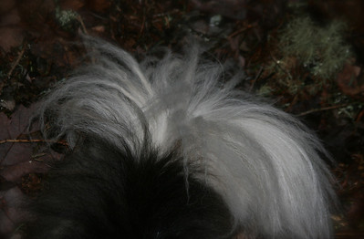 Tail in leaves.