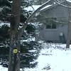 PILEATED 3 SNOW