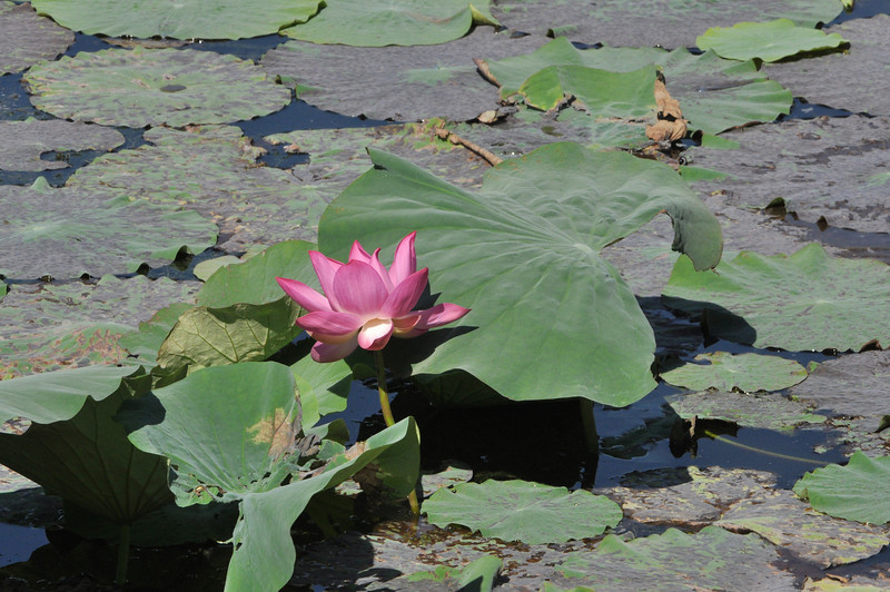 China's capital Beijing: Water lilly