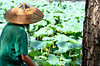 Traditionally dressed Chinese man overlooking the lotus water lilies at the Summer Palace in Beijing, China
