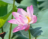 Lotus water lily at the Summer Palace in Beijing, China (2)