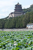 Lotuses in Kunming Lake at the Summer Palace in Beijing, China
