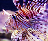 A venomous lionfish (also known as scorpionfish or firefish in the family scorpaenidae) on display at the Underwater Observatory Marine Park in Eilat, Israel.