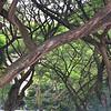 Nature's lattice work in the trees of Singapore