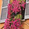 Petunias of Bologna, Italy