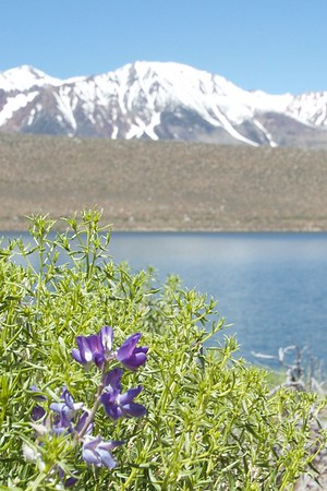 purple flower snow capped mountains.