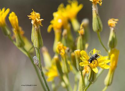 black bee on the Dandelion