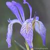 vein of the purple Iries