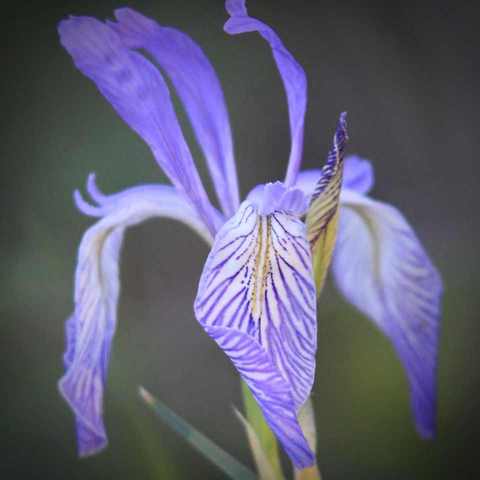 being of the purple iries