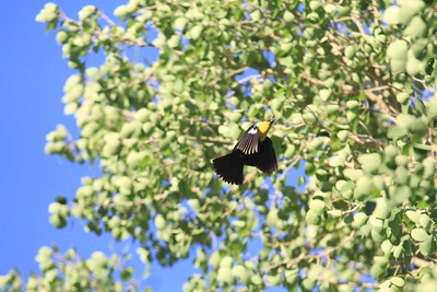 Yellow headed black bird in motion