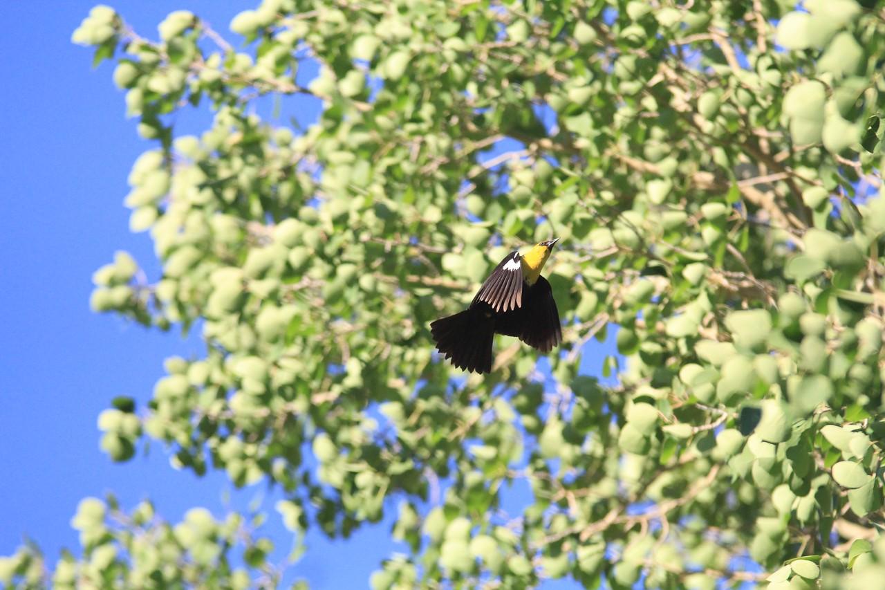 Yellow headed black bird in motion