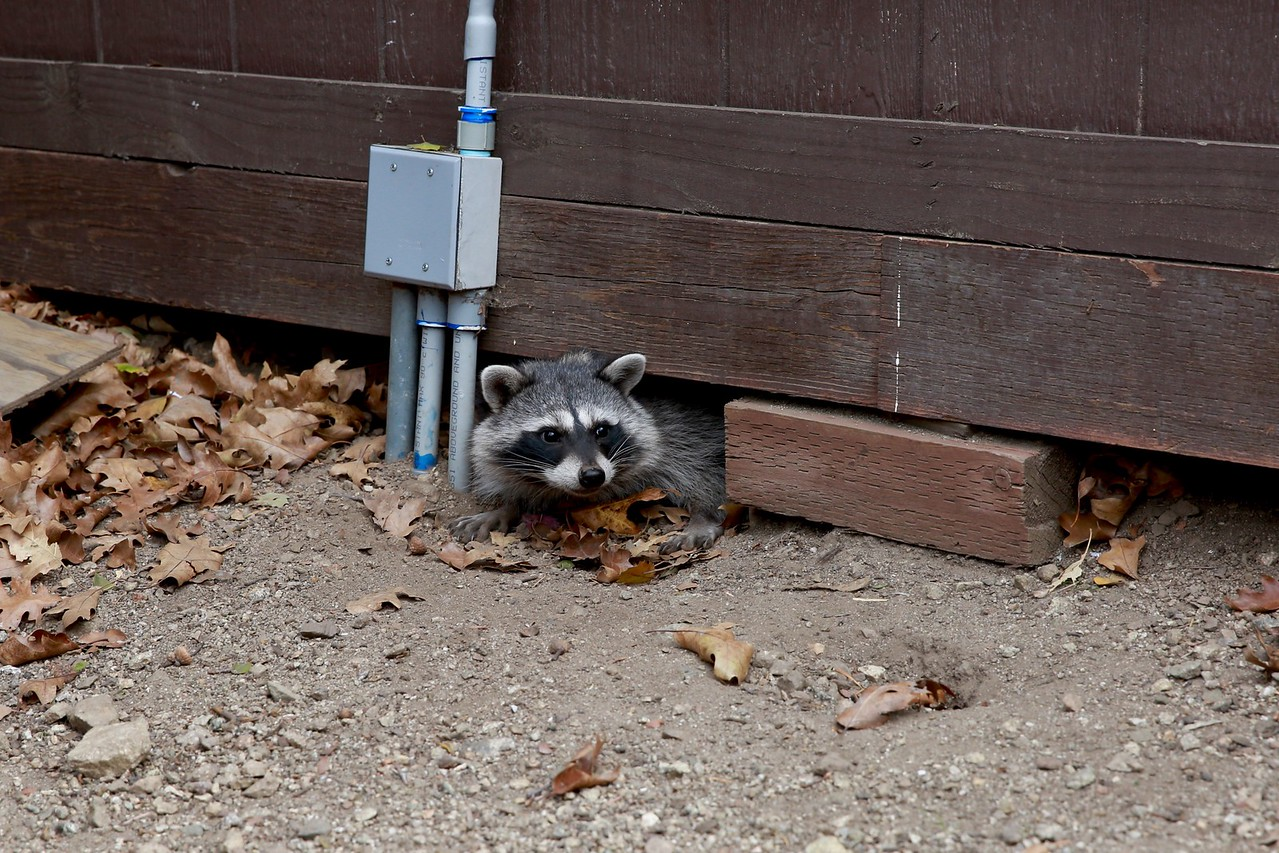 raccoon under bulidng