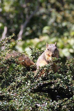 Landscape squirrel