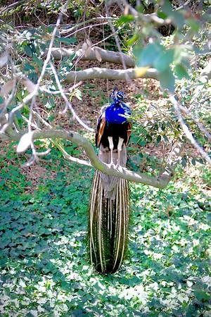 indian peacock tree