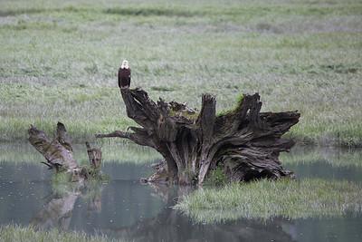 bald eagle on the estuary