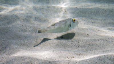 Bullseye pufferfish, botete diana, Sphoeroides annulatus