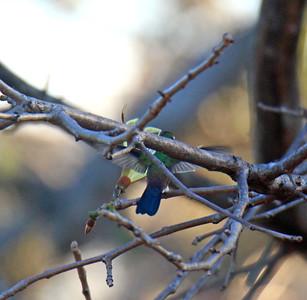 Blue-vented Hummingbird