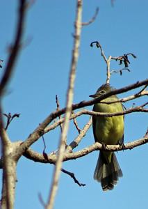 Yellow-bellied Elaenia