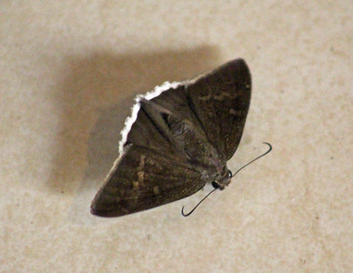 Funeral Duskywing