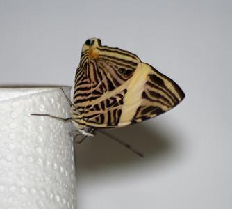 Colobura Dirce - bottom or folded