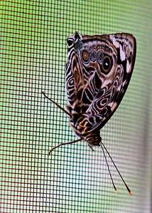 Blomfild's Beauty (bottom or wings folded side)