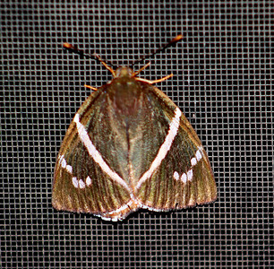 Banded Skipper Butterfly