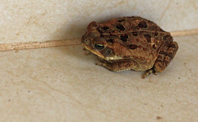 Common Rain Frog