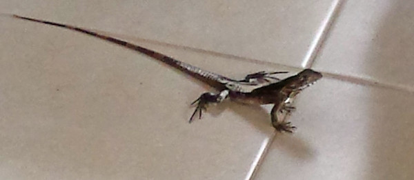 Unknown: Ground Anole, Ameiva, or Whiptail?