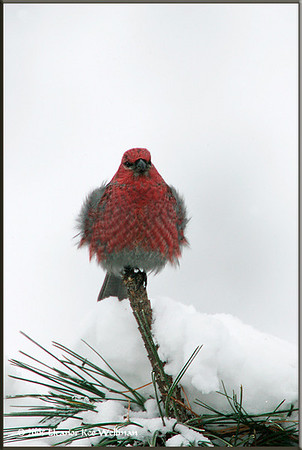 Pine Grosbeak Fluffed Up