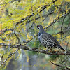 Spruce Grouse in Tamarak