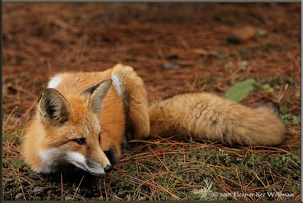 Fox in Pine Needles