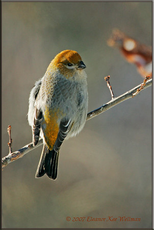 Pine Grosbeak Female