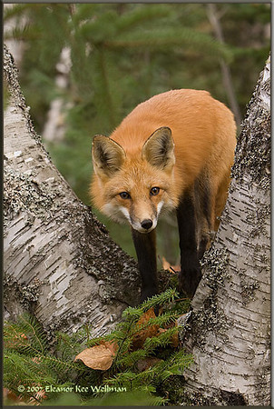 Fox Between Birches