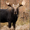 Moose with Broken Antler