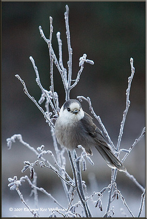 Gray Jay on Frosted Branch
