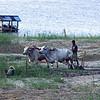 Men Plowng with Oxen