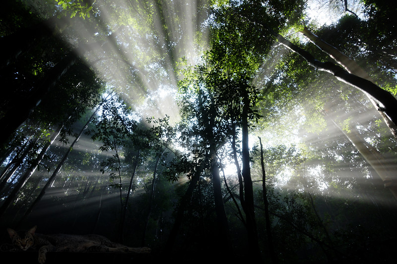 Blue Mountains - Light Beams in the Forest