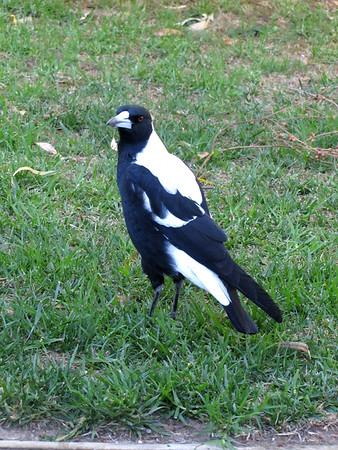 Bird - Grampians National Park - Victoria - Australia