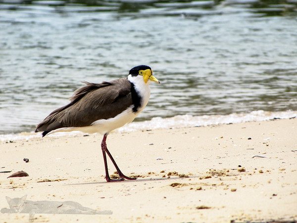 Masked Lapwing AKA Spur-winged Plover