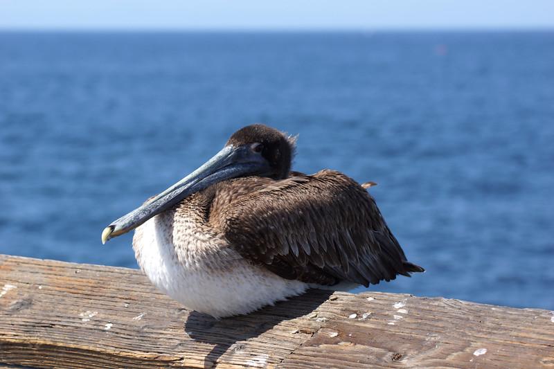 Brown Pelican on Balboa Pier