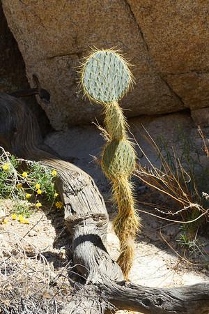 Cactus in Joshua Tree National park - California