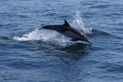 Dolphin off California