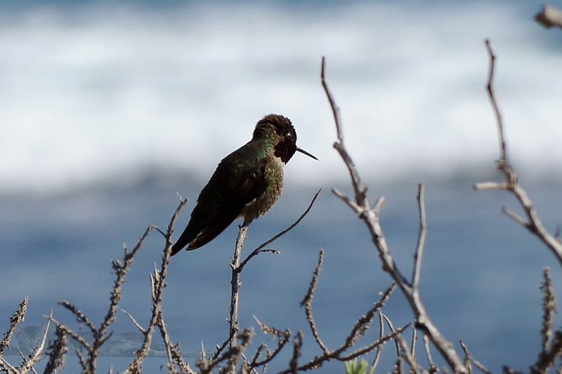 Anna's Hummingbird in Crystal Cove State Park