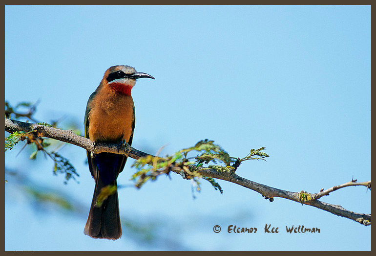 White-fronted Bea Eater