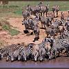 Zebras Drinking, Mara River.